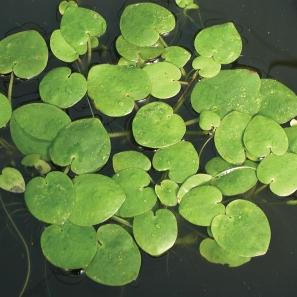 plants_floating_frogbit_1000
